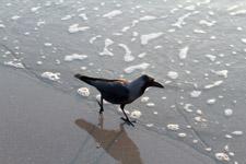 459-black-crow-sea-wave - Public Domain Pictures