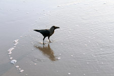 Black Crow Standing In Sea Waves - Public Domain Pictures