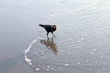 462-crow-in-beach-waves-water - Public Domain Pictures