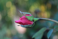 Pink Red Rose Bud - Public Domain Pictures