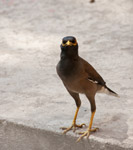 Myna 2 - Public Domain Pictures
