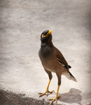 Myna Bird 2 - Public Domain Pictures