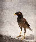 Myna Bird 3 - Public Domain Pictures