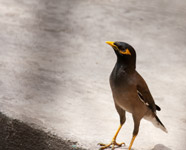 Myna Bird - Public Domain Pictures