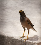 Myna Standing - Public Domain Pictures