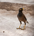 Myna - Public Domain Pictures