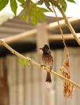 Bulbul Bird - Public Domain Pictures