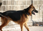 Alsatian Dog German Shephard - Public Domain Pictures