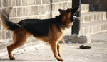 German Shephard Barking - Public Domain Pictures