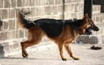 German Shephard Chained - Public Domain Pictures