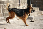 German Shephard Dog Breed - Public Domain Pictures