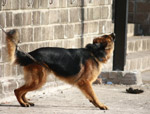 German Shephard Dog - Public Domain Pictures