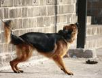 German Shephard Dog - Public Domain Pictures