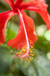 Hibiscus Closeup - Public Domain Pictures
