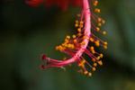 Hibiscus Flower Close - Public Domain Pictures