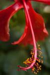 Hibiscus Petals - Public Domain Pictures