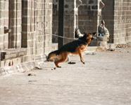 Jumping German Shephard - Public Domain Pictures