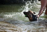 Man Dog In Water - Public Domain Pictures