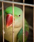 Parrot Caged - Public Domain Pictures