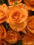 Orange Rose Portrait Bunch - Public Domain Pictures