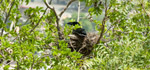 Crow Nest Tree - Public Domain Pictures