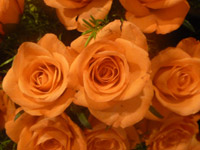 Orange Roses - Public Domain Pictures