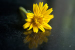 Yellow Flower - Public Domain Pictures