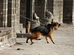 Chained Dog Barking - Public Domain Pictures