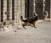 German Shephard Leashed - Public Domain Pictures