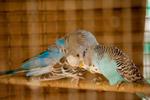 Love Birds - Public Domain Pictures