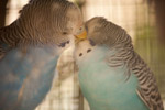 Love Birds - Public Domain Pictures