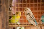 Caged Birds - Public Domain Pictures