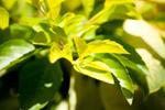 Leaves - Public Domain Pictures