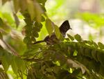 Beautiful Bird Bulbul - Public Domain Pictures