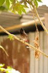 Bulbul Bird Small - Public Domain Pictures