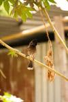 Bulbul Birds - Public Domain Pictures