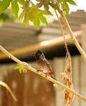 Bulbul Branch Small Bird - Public Domain Pictures