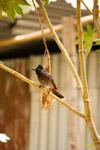 Small Bird Branch Bulbul - Public Domain Pictures