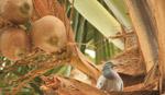 Coconut Tree Pigeon - Public Domain Pictures