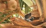 Pigeon Coconut Tree - Public Domain Pictures