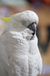 Cockatoo Bird Closeup - Public Domain Pictures