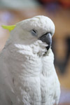 Cockatoo Bird White - Public Domain Pictures