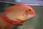 544-golden-oscar-fish-tank - Public Domain Pictures