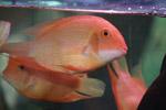 Golden Oscars Couple Fish - Public Domain Pictures