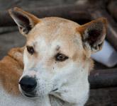Dog Face - Public Domain Pictures