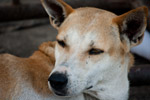 Dog Sleepy - Public Domain Pictures