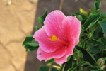 Pink Hibiscus - Public Domain Pictures