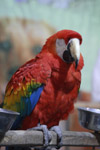 556-scarlet-macaw-bird-colorful - Public Domain Pictures
