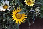 Sunflower - Public Domain Pictures