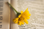 Yellow Flower Dictionary - Public Domain Pictures